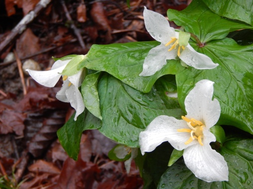 Perfect Trilliums (Wake Robins)