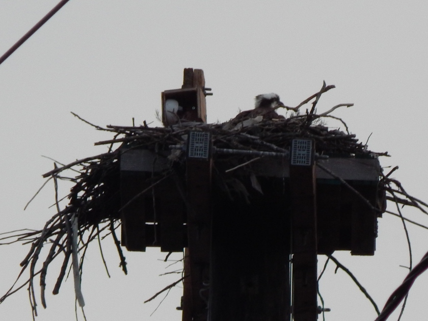 Osprey is back to the Nest - Renton