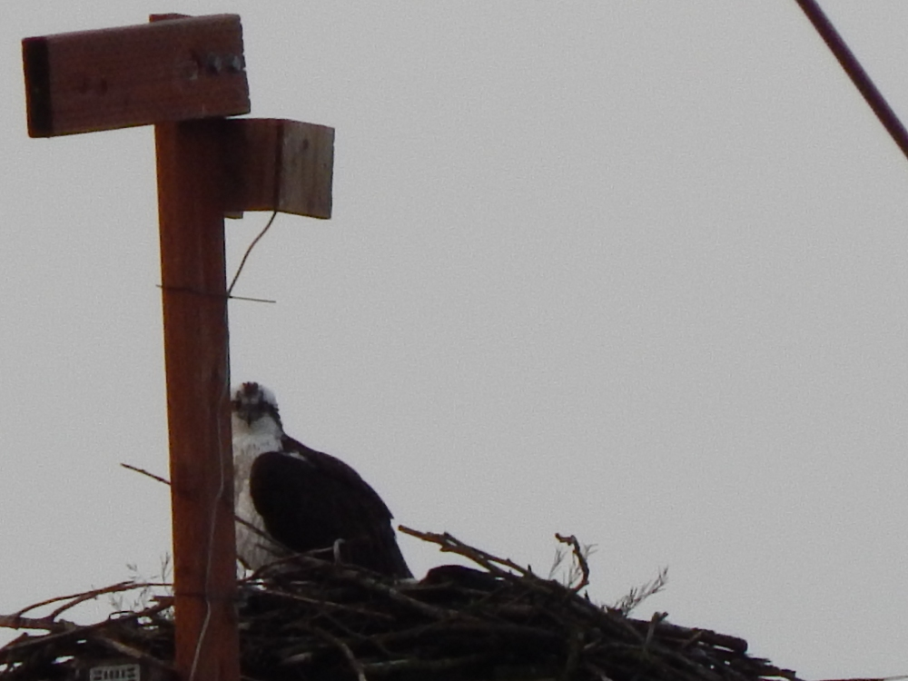 View of Osprey nest from other side of Freeway
