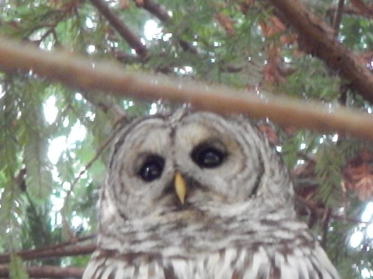 Lincoln Park Owl