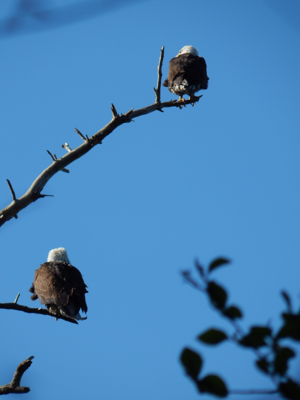 Lincoln Park Eagle pair watching