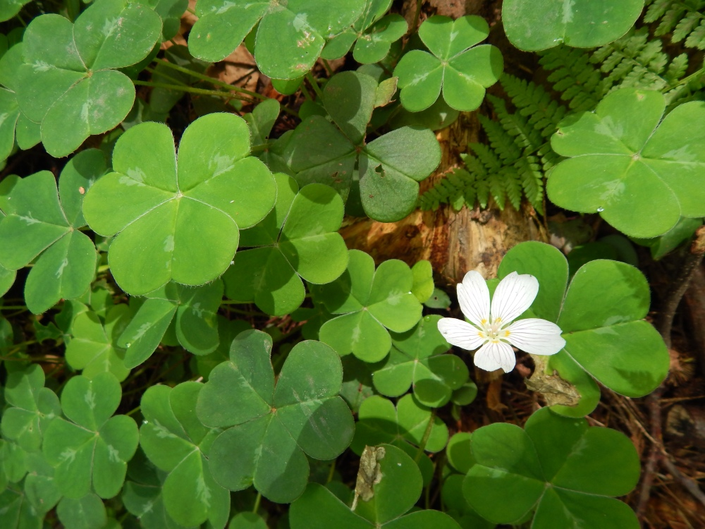 Shamrocks next to the brook