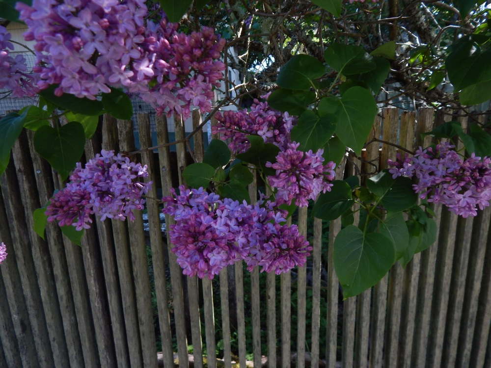 Lilacs and slat fence