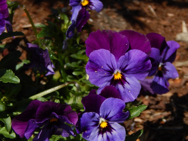 Violas - so purple