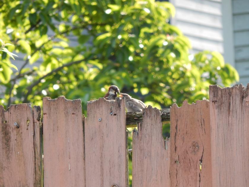 Sparrow feeding time
