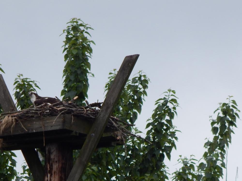 Osprey nesting platform on Green River