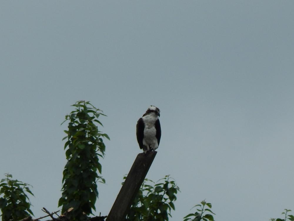 Osprey watching his world