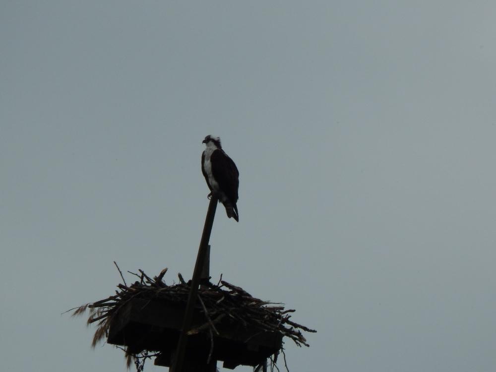 Nest Platform at Green River