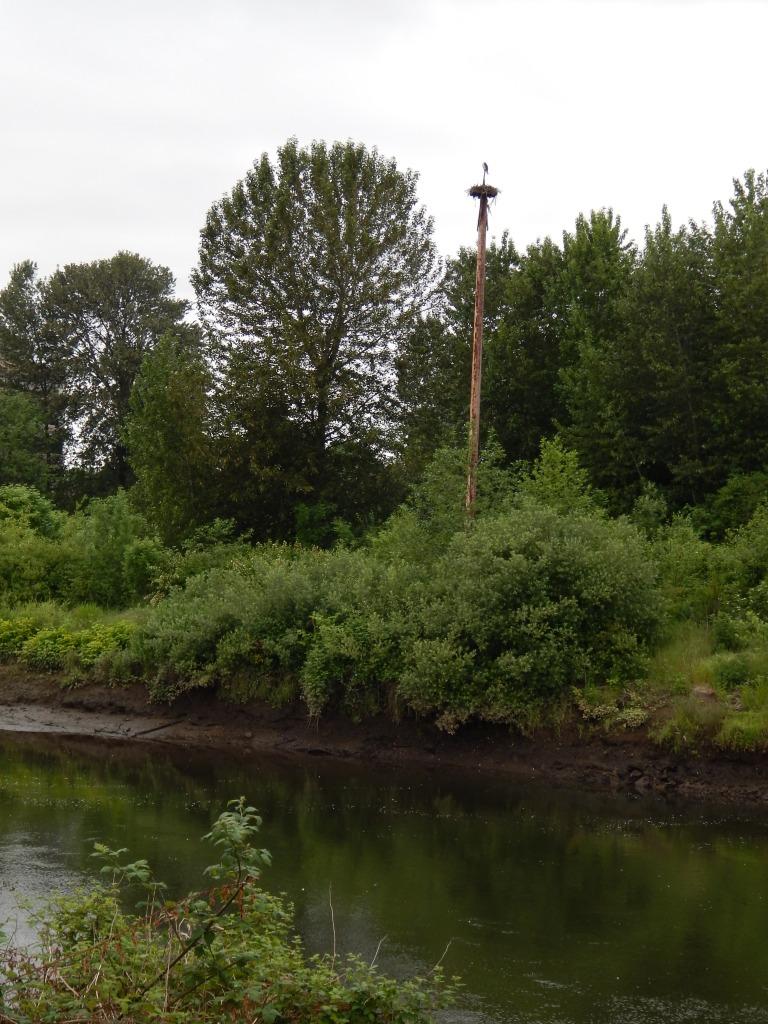 Osprey platform in Tukwila, WA