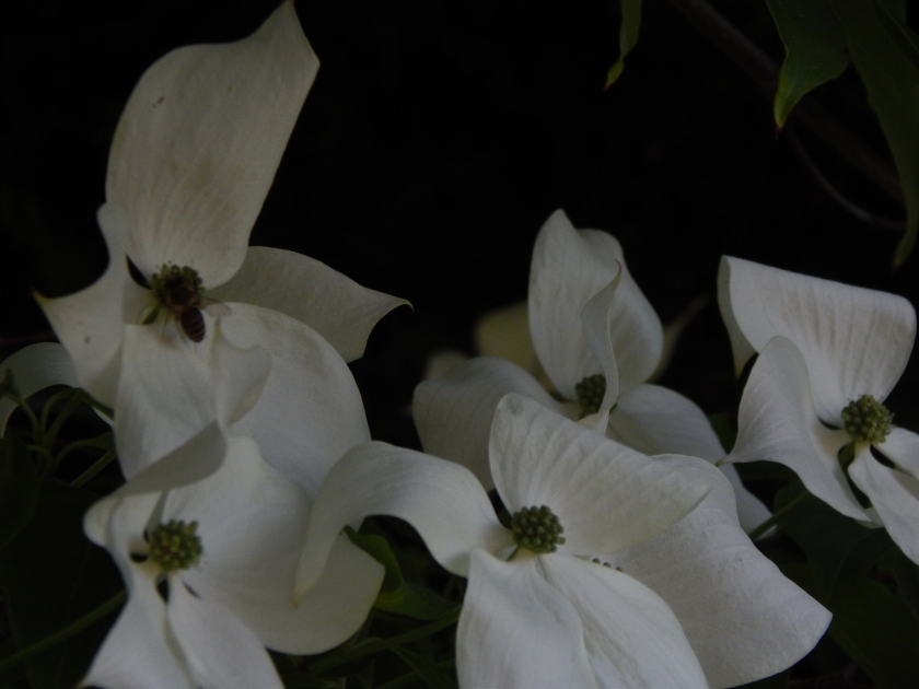 Dogwood bee-in