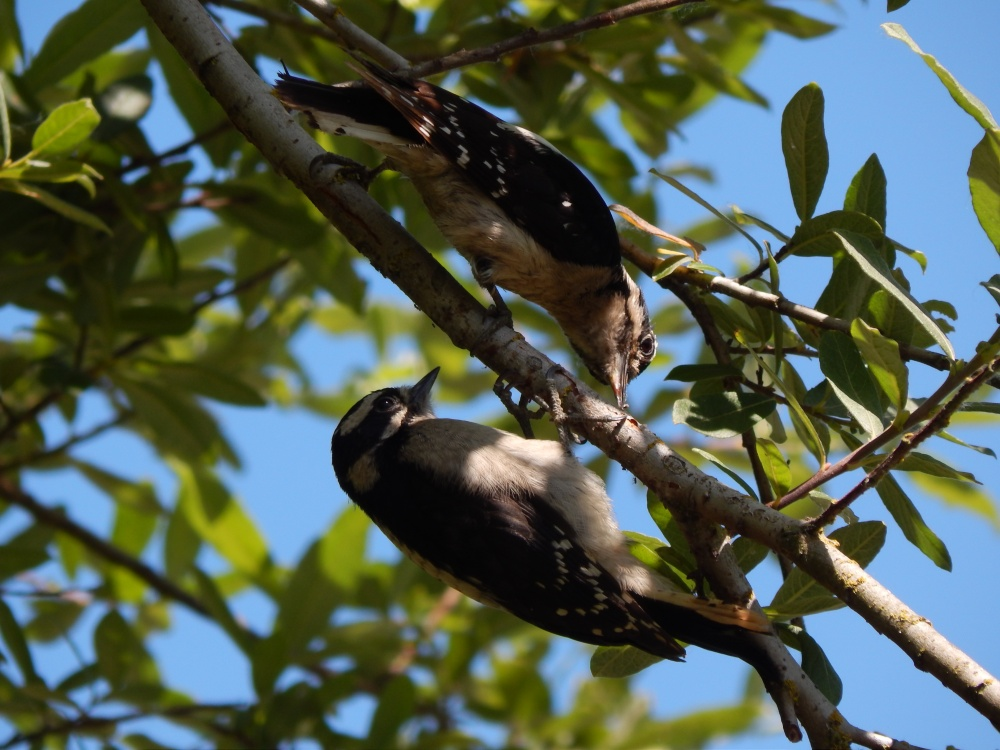 Female Downy Woodpecker with chick on the Interurban Trail