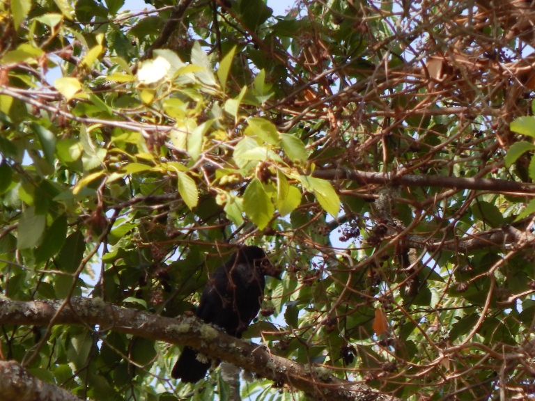 Baby Crow waiting for mom in madrona