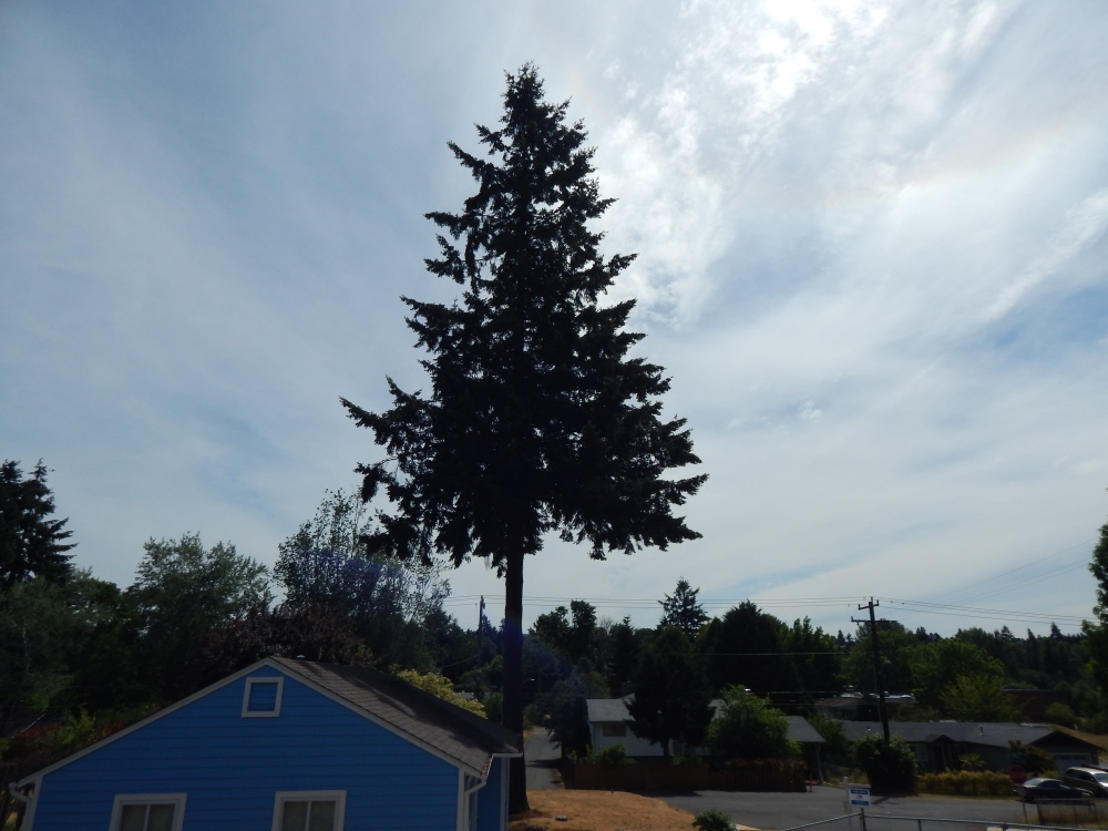 Big Fir tree Crow Home