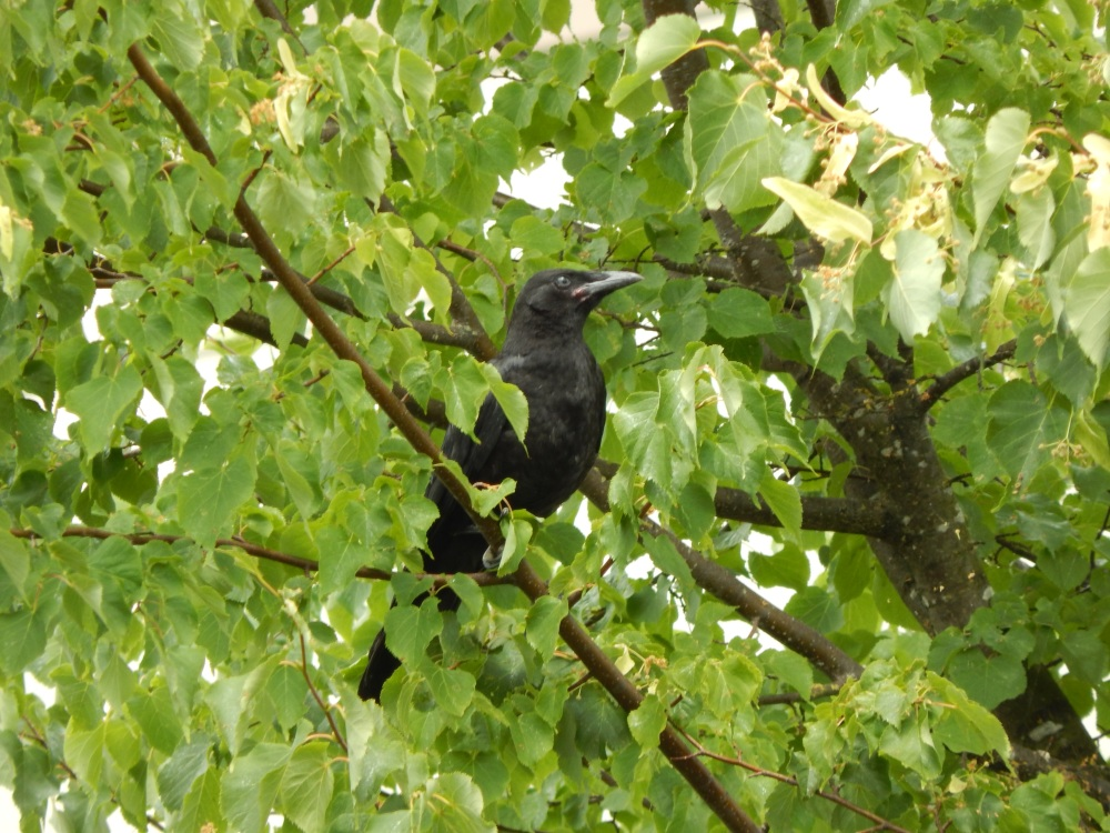 Baby Crow on West Valley Hwy, Kent