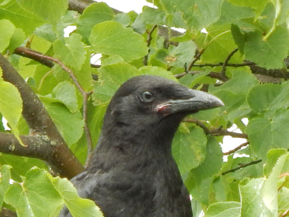 Baby Crow - see the pink lip and blue eyes