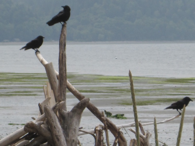 Crows on guard duty perch on driftwood