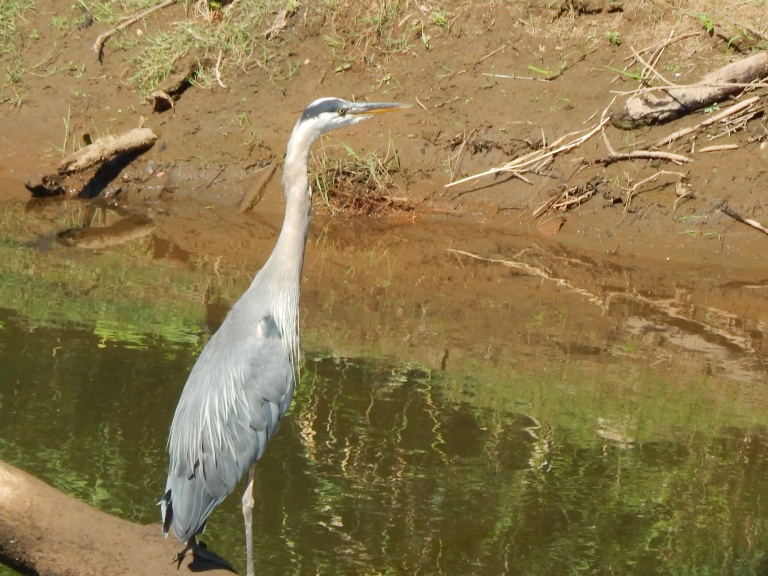 Blue Heron on Green River
