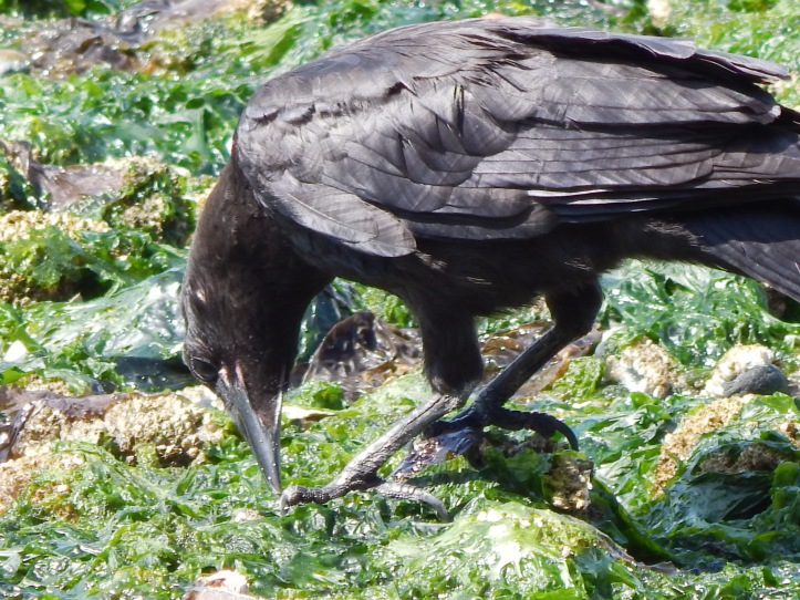 Baby Crow feeding himself