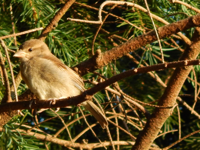 Baby Sparrow hanging out in the sun