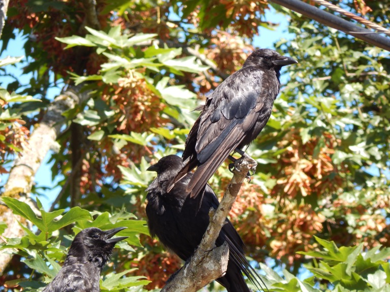 Crow family hanging out