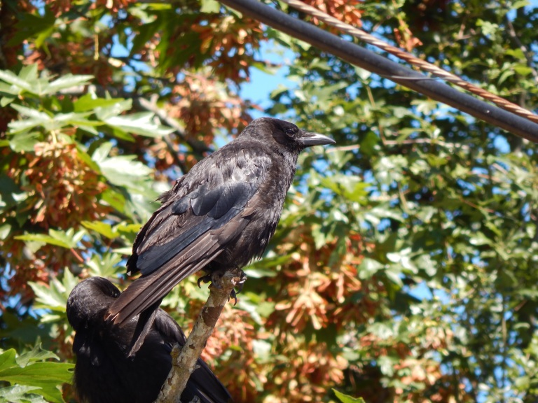 Green River Crow looking frumpy