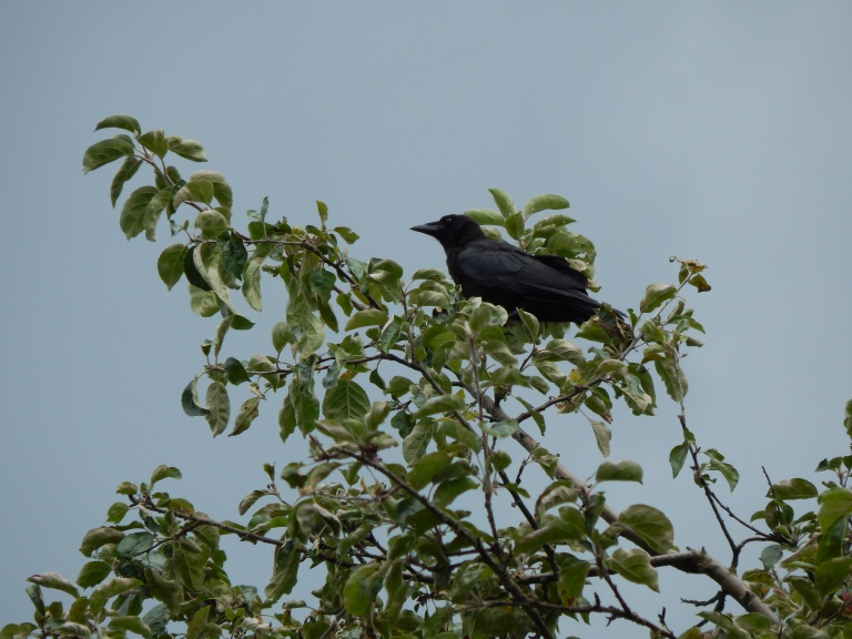 Baby Crow in old apple tree