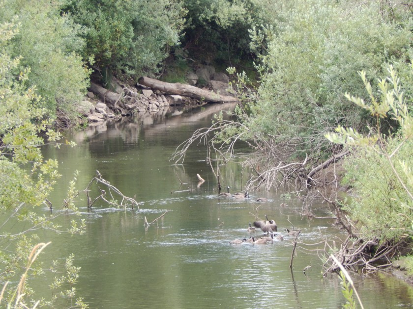Canadian Geese forage in Green River