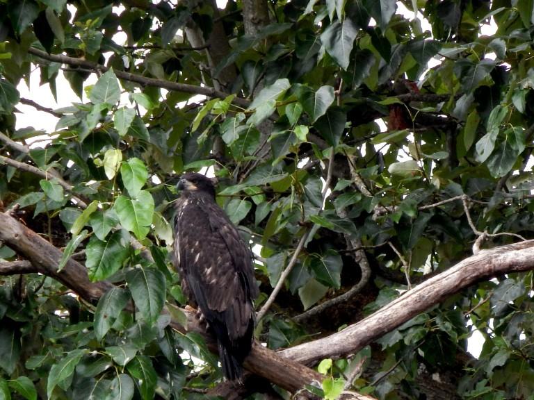 Kent Boy Eaglet waiting for lunch