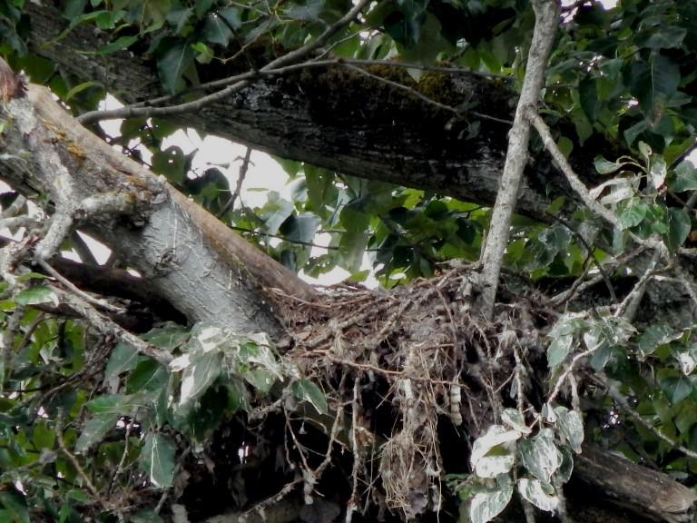 Kent Eagle Nest - Girl Eaglet is still inside