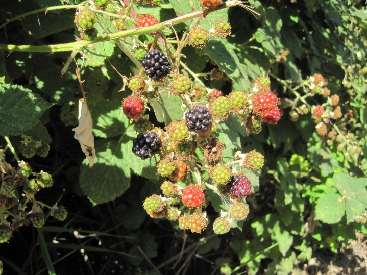 Ripe Blackberries July 2, 2015 - way early
