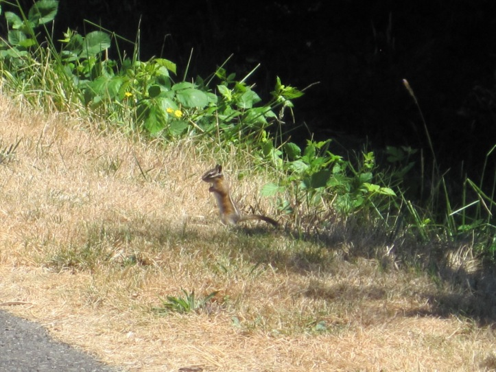 Chipmunk on Green River Trail