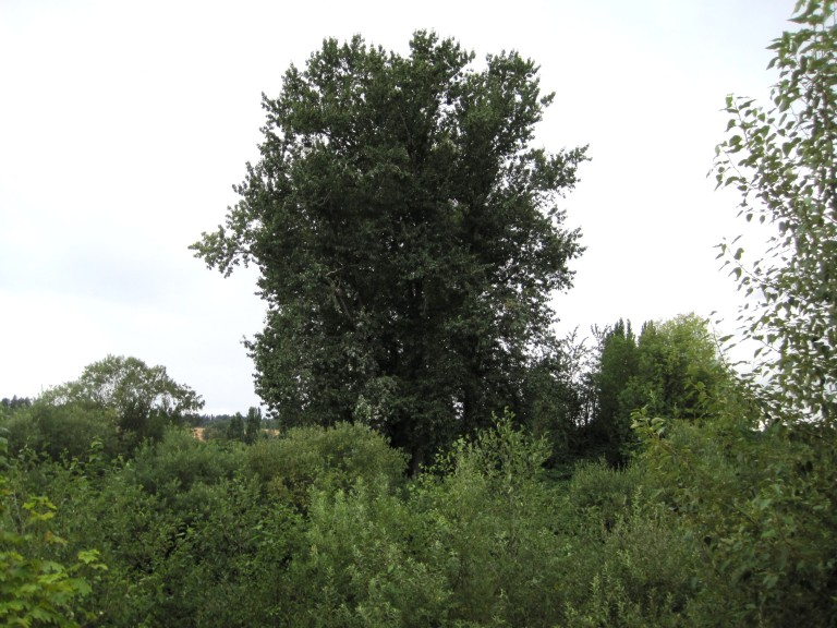 Kent Eagle Nest Tree - See white poop on lower left side?