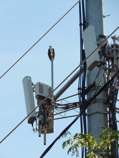 Cell Tower makes great place to guard nest