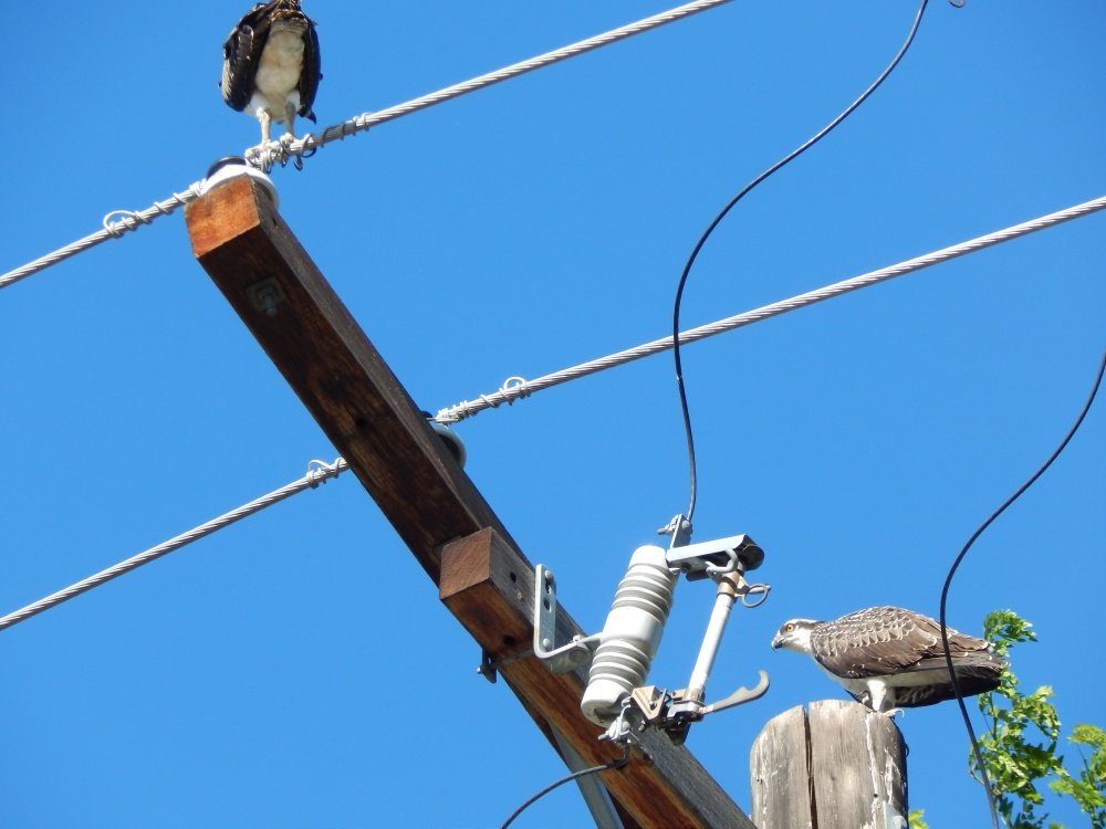 Osprey chicks fledged and landed on power pole