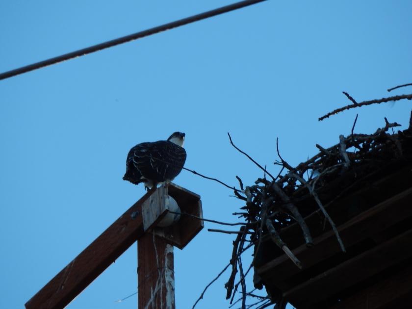 Osprey Nest Cam got direct poop shot