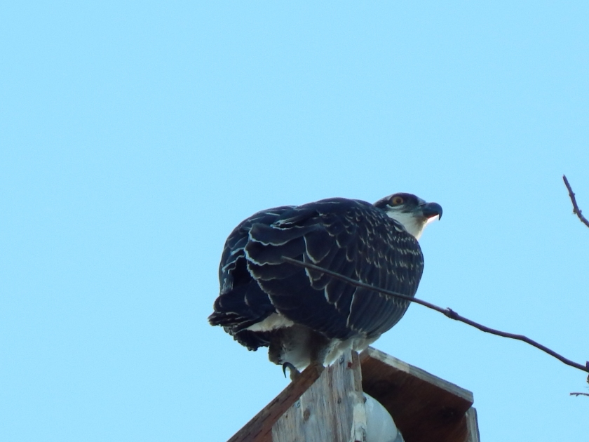 Osprey chick uncertain of flying off nest