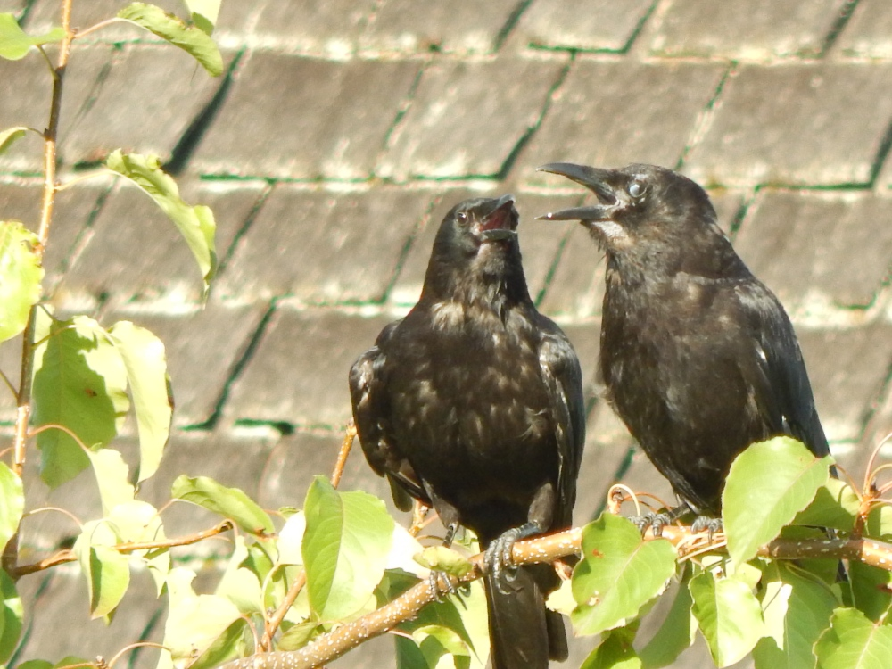 Crows hot & molting