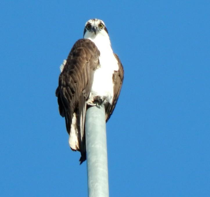 Lone Osprey watches empty nest