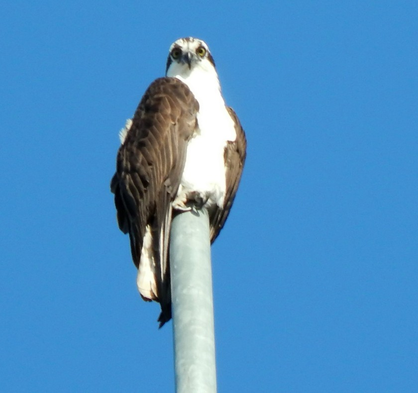 Lone Osprey watches empty nest