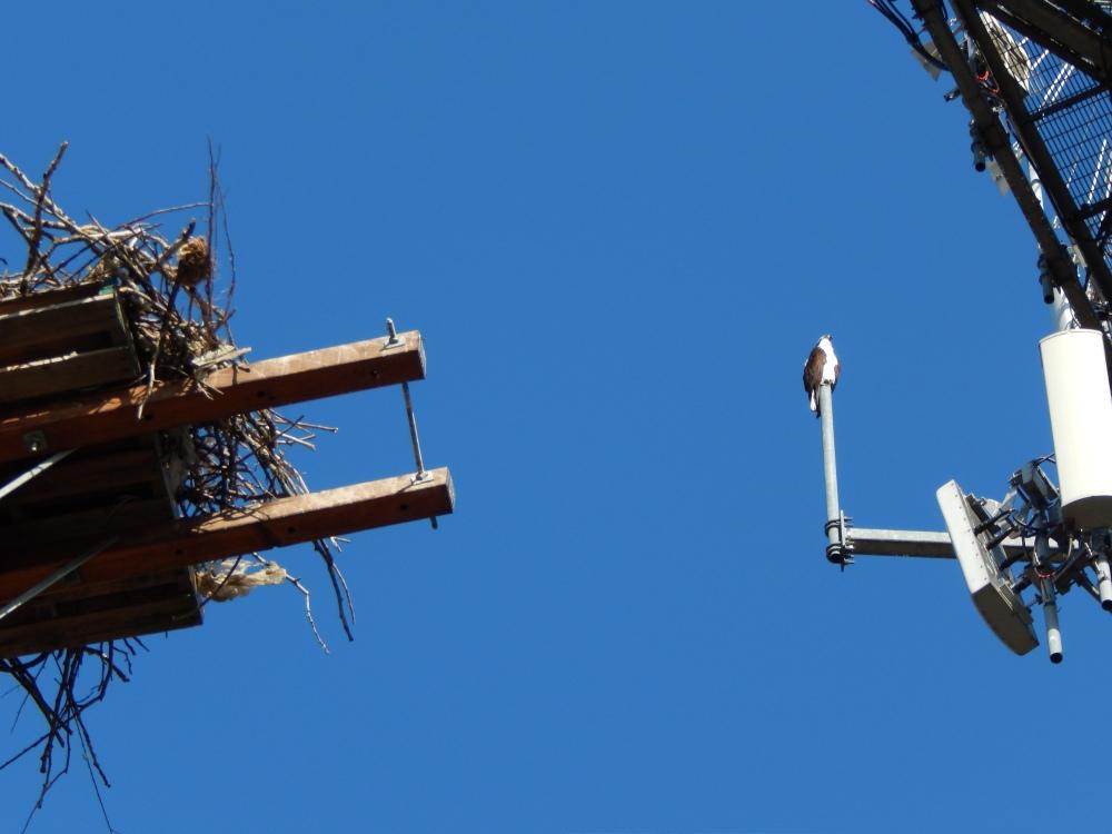 Osprey Dad watching empty nest