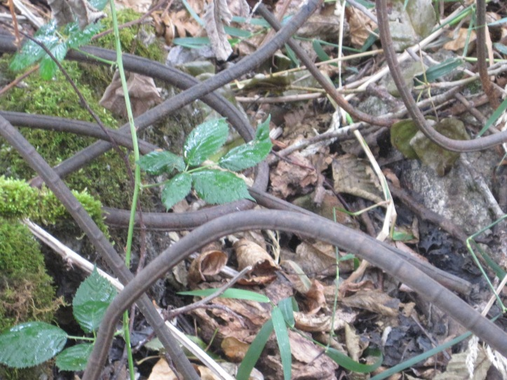 These are not vines in the woods! They are rebar from another decade.