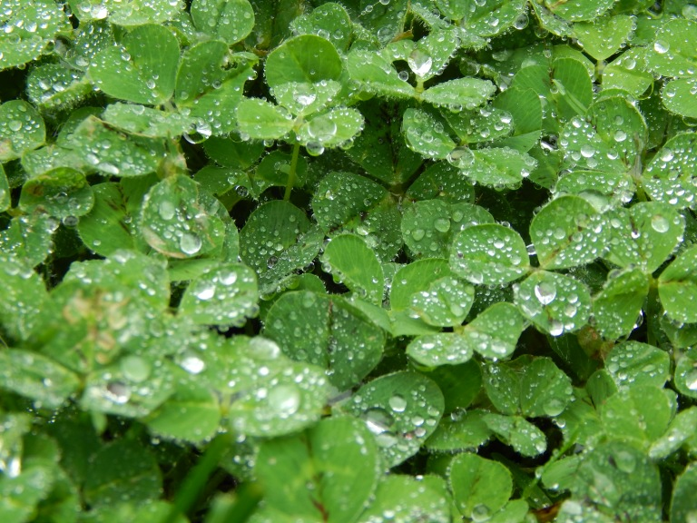 Fog droplets rest upon shamrocks