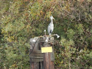 Blue Heron on Duwamish