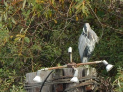 Heron cleaning feathers