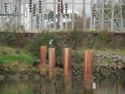 Duwamish river pilings and Heron