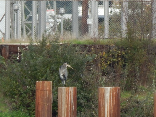 Heron on Duwamish
