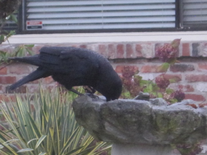 Crow uses gimpy foot to balance