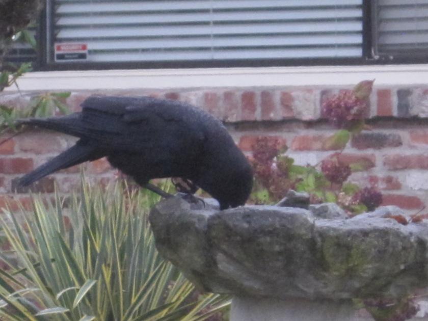 Crow uses gimpy foot to balance