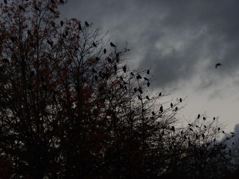 Crow Ornaments in Renton Trees