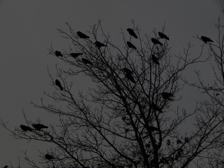 Renton Crows face setting sun